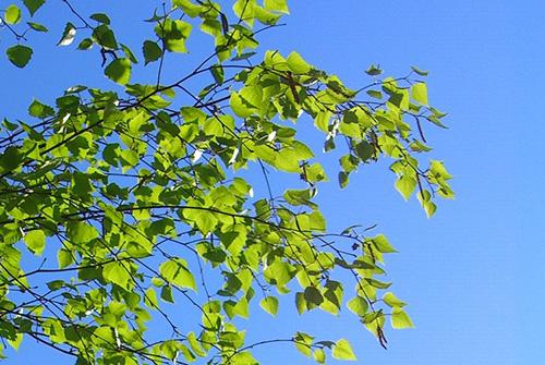 молодые березовые листь в июне